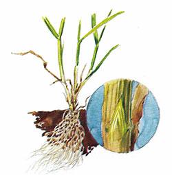Gräsplanta