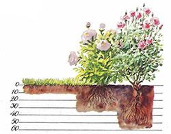 Växtlagen har skilda krav på matjordsdjup. Varje vågrätt linje motsvarar 10 cm.