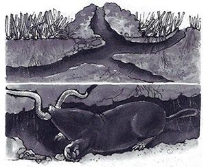 Mullvaden kan göra stora skador i gräs mattan.