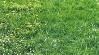 Ogräs i gräsmattan