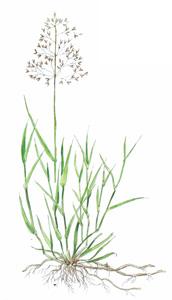 Rödven, Agrostis tenuis.