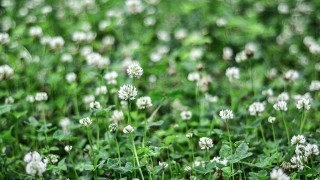 Vitklöver i gräsmattan