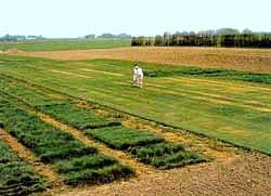 Urval och förädling av gräsmatta
