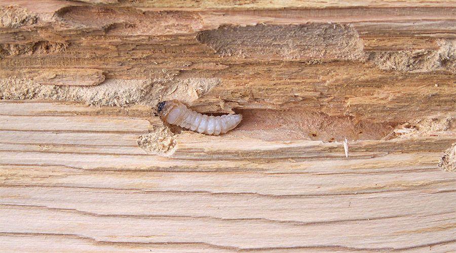 insekter-som-ater-pa-huset.jpg